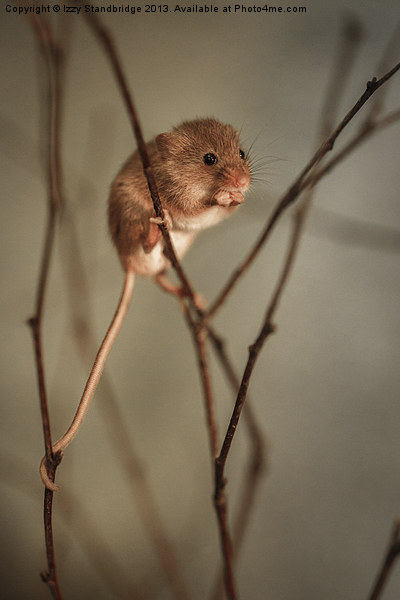 Harvest mouse Canvas print by Izzy Standbridge