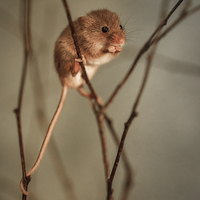 Buy canvas prints of Harvest mouse by Izzy Standbridge