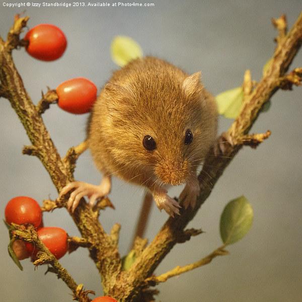 Harvest mouse (Micromys minutus) Canvas print by Izzy Standbridge