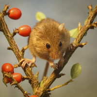 Buy canvas prints of Harvest mouse (Micromys minutus) by Izzy Standbridge