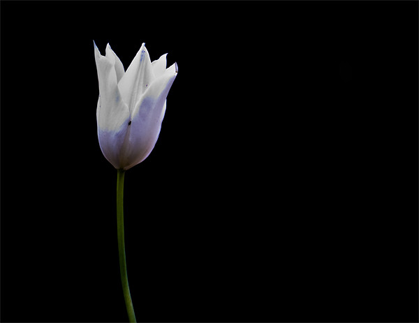 Tulip. Canvas Print by K. Appleseed.