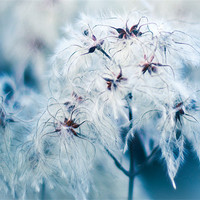Buy canvas prints of Cotton Grass Seedheads by K. Appleseed.