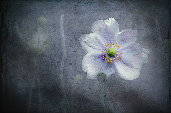 The last flower of Summer, pink Anemone Japonica Canvas Print by K. Appleseed.