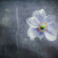 Buy canvas prints of The last flower of Summer, pink Anemone Japonica by K. Appleseed.
