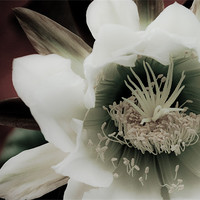 Buy canvas prints of Cactus Flower by K. Appleseed.