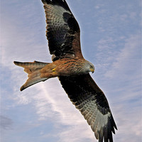 Buy canvas prints of Red Kite by Tony Bates