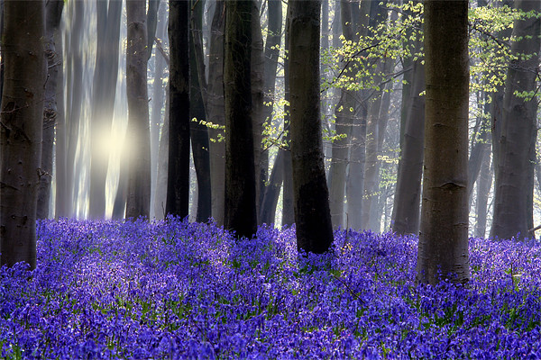 Bluebell Wood Canvas print by Tony Bates