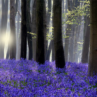 Buy canvas prints of Bluebell Wood by Tony Bates
