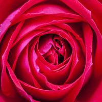 Buy canvas prints of Red rose close up by Tony Bates