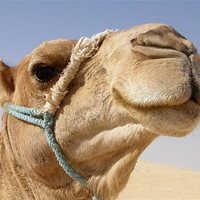 Buy canvas prints of Whistling camel by Marja Ozwell