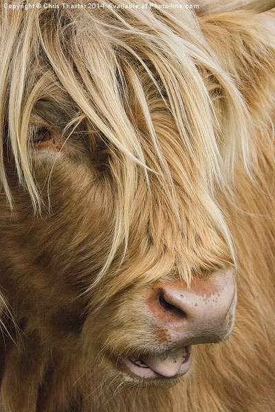 Highland Cow Portrait Canvas print by Chris Thaxter