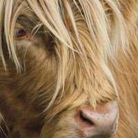 Buy canvas prints of  Highland Cow Portrait by Chris Thaxter