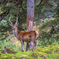 Buy canvas prints of Highland Stag  by Chris Thaxter
