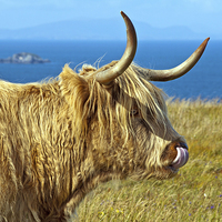Buy canvas prints of Highland Beauty Highland Cow by Bel Menpes