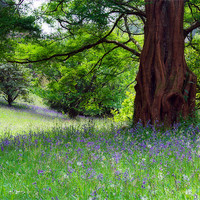 Buy canvas prints of Bluebell wood by Paul Davis