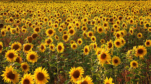 Sea Of Sunflowers Canvas print by kelly Draper