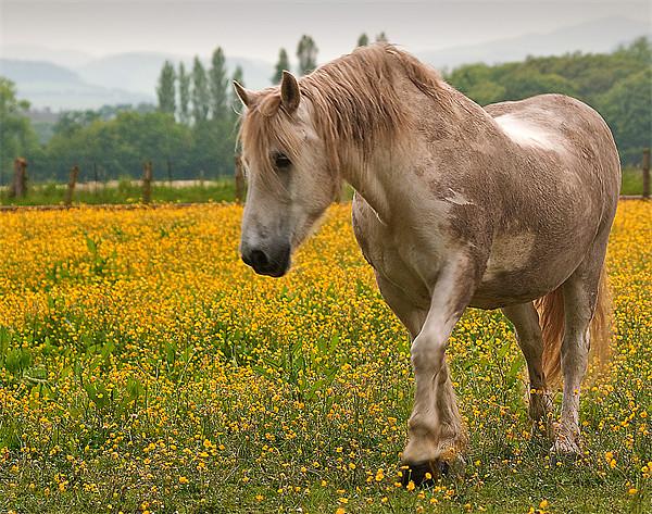 Buttercup Pony Canvas print by Stuart Jack