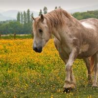 Buy canvas prints of Buttercup Pony by Stuart Jack