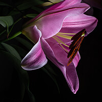 Buy canvas prints of Lilies in Shadow by Stuart Jack