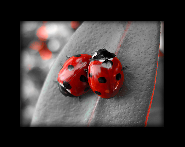 ladybirds (rework with border) Canvas print by Heather Watkins