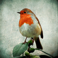 Buy canvas prints of robin by Heather Watkins
