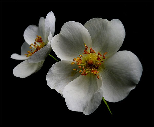 rosa canina Canvas print by Heather Watkins