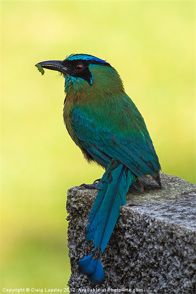 Blue crowned Motmot with a caterpillar Canvas print by Craig Lapsley