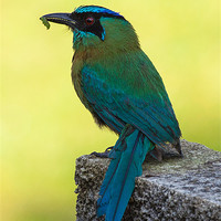 Buy canvas prints of Blue crowned Motmot with a caterpillar by Craig Lapsley