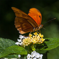 Buy canvas prints of orange butterfly Julia by Craig Lapsley