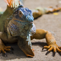 Buy canvas prints of large green iguana by Craig Lapsley