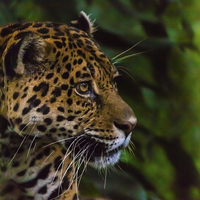 Buy canvas prints of Panther profile by Craig Lapsley