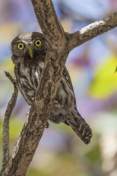 costa rican pygmy owl Canvas print by Craig Lapsley