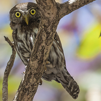Buy canvas prints of costa rican pygmy owl by Craig Lapsley