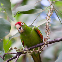 Buy canvas prints of crimson fronted Parakeet by Craig Lapsley