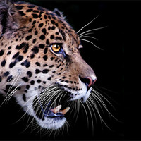 Buy canvas prints of Jaguar snarling Paintover by Craig Lapsley