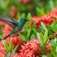 Buy canvas prints of Hummingbird Flying by Craig Lapsley
