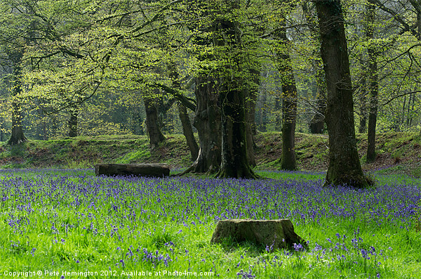 Bluebells at Blackberry Camp Canvas print by Pete Hemington