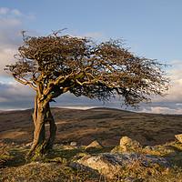 Buy canvas prints of Lone tree on Dartmoor by Pete Hemington