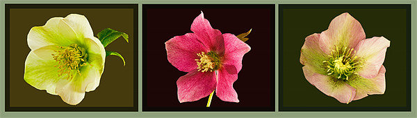 Triptych of Lentern roses - Hellebores Framed Print by Pete Hemington