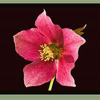 Buy canvas prints of Triptych of Lentern roses - Hellebores by Pete Hemington