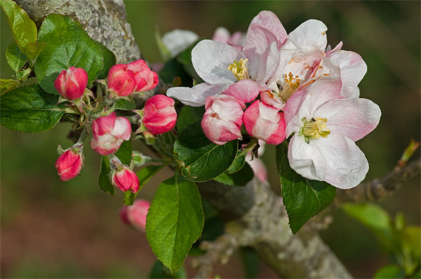 Apple blossom Print by Pete Hemington
