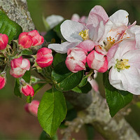Buy canvas prints of Apple blossom by Pete Hemington