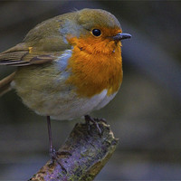 Buy canvas prints of Robin by Darren Burroughs