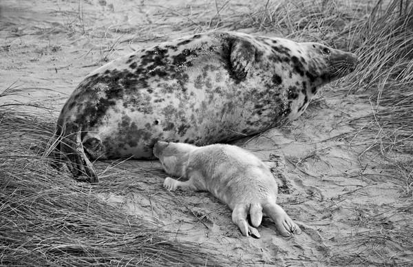 Seal pup Feeding Canvas print by Darren Burroughs