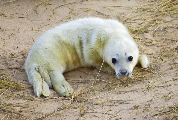 New born Norfolk Seal Pup Canvas Print by Darren Burroughs