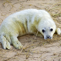 Buy canvas prints of New born Norfolk Seal Pup by Darren Burroughs