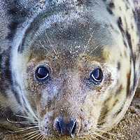 Buy canvas prints of Grey Seal by Darren Burroughs