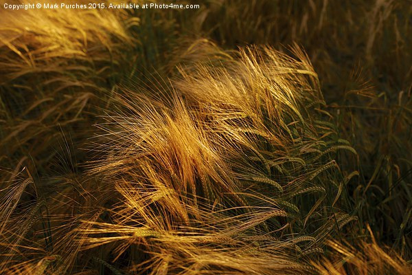 Soft Warm Barley Crop Plant Detail Framed Mounted Print by Mark Purches