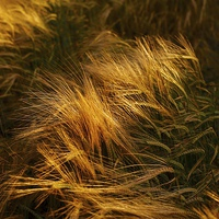 Buy canvas prints of Soft Warm Barley Crop Plant Detail by Mark Purches