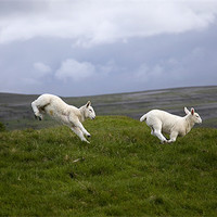 Buy canvas prints of An Evening's Frolic In The Dales by Steve Glover